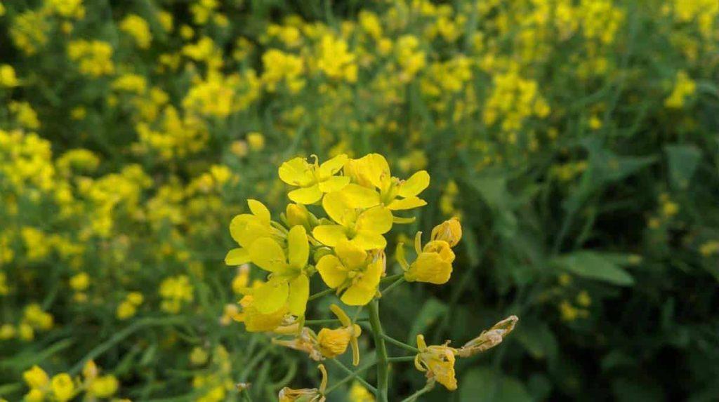 Huile de moutarde : ses propriétés