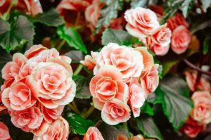 La douceur de la rose, concentrée dans une huile surprenante !