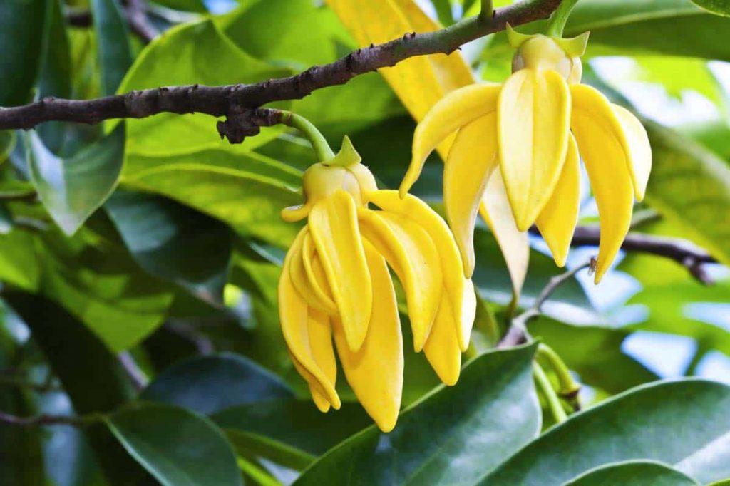 L'huile de Ylang-Ylang bénéfique pour vos cheveux